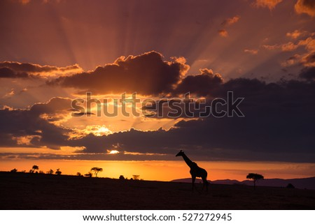 African sunset with giraffe and acacia tree