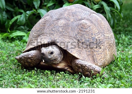African Tortoise on green grass - stock photo