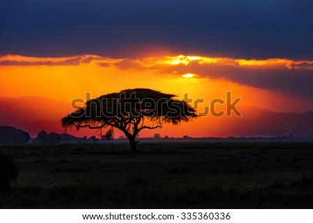 African tree silhouette on sunset in savannah, nature of Africa, Kenya  - stock photo