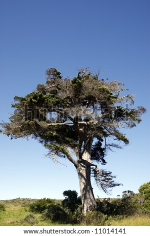 african tree within the table mountain national park near the cape of good hope cape town western cape province south africa - stock photo