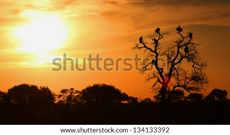 African Vultures in tree at sunset - stock photo