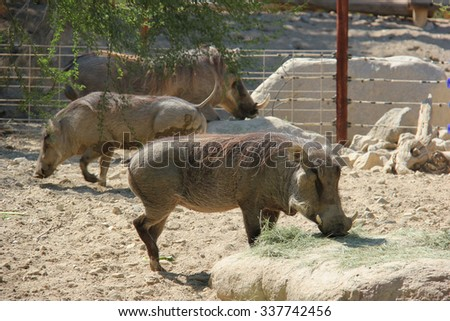 African warthog is eating grass on the ground. - stock photo