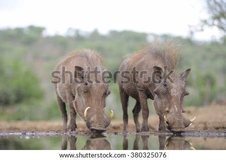 African Warthog (Phacochoerus aethiopicus)  drinking at water hole. Zululand, South Africa - stock photo