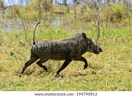 African warthog running along the shroud near Lake Nakuru - stock photo