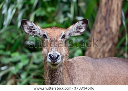 African Water Goat Gazelle in the savannah of Tsavo