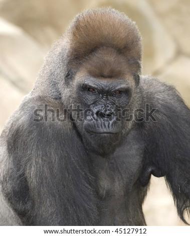 african western lowlands gorilla male silverback looking menacingly - stock photo
