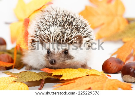African white- bellied hedgehog with autumn decoration - stock photo