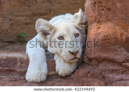African White Lion cubs relax in the midday sun - stock photo