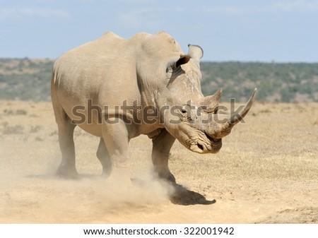 African white rhino, National park of Kenya - stock photo