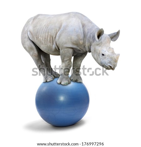 African White Rhinoceros balancing on a blue ball.  - stock photo