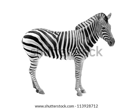 African wild animal zebra showing beautiful black & white stripes . This mammal is related to horse & the stripe patterns are unique to each zebra. The animal is isolated on white with clipping mask - stock photo