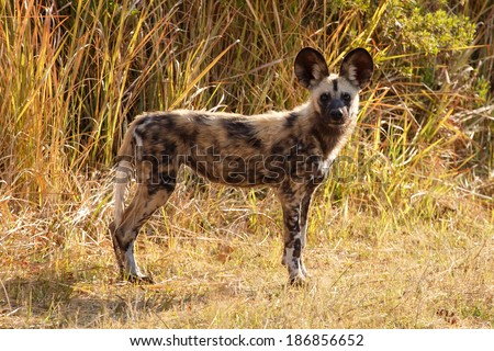 African Wild Dog at Okavango Delta - Moremi National Park in Botswana - stock photo
