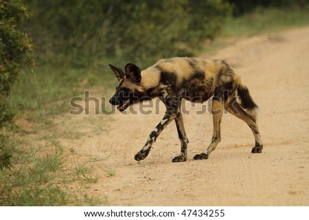 African wild dog crossing road - stock photo