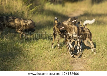 African Wild Dog group interacting in South Africa's Mala Mala Private Game Reserve - stock photo