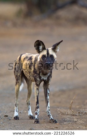 African Wild Dog (Lycaon pictus) stood facing the camera on bare ground with blurred natural background, South Africa - stock photo