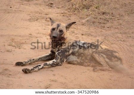 African wild dog lying resting after making a kill and feeding - stock photo