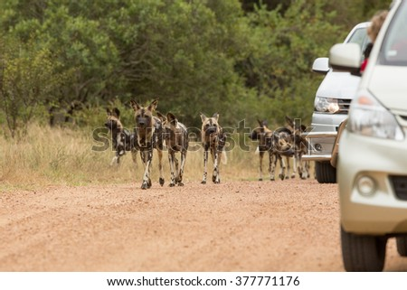 African Wild Dog pack walking in the road next to tourist cars in Kruger Park South Africa - stock photo