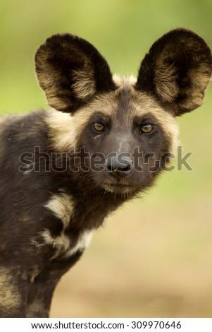 African Wild dog portrait - stock photo