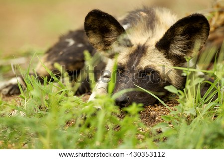 African wild dog resting - stock photo