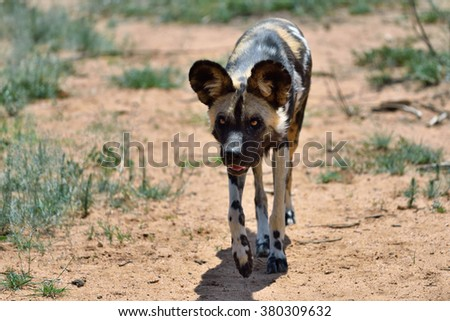 African Wild Dog running in savanna, Namibia, Africa - stock photo