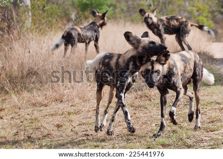 African wild dogs (Lycaon pictus) ~ South Africa - stock photo