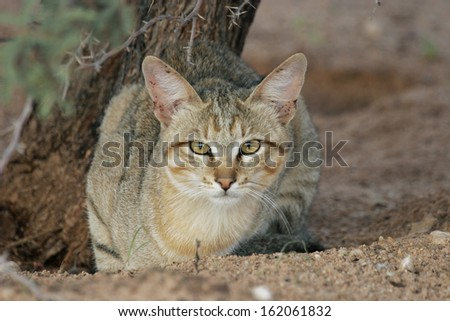 African Wildcat, Wild Cat, South Africa - stock photo