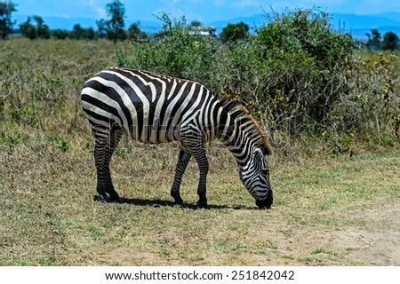 African Zebra Kenya in their natural habitat. Nakuru Park. - stock photo