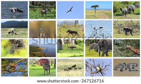 African Zebra Kenya in their natural habitat. Nakuru Park. - stock photo