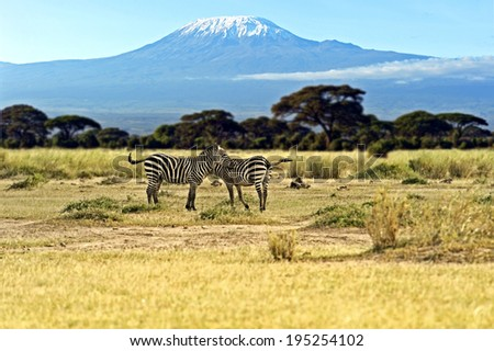 African Zebras in Amboseli National Park . Kenya - stock photo