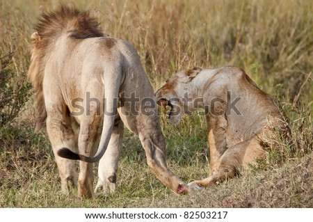 After ejaculation (after about about 20 seconds) the female shows aggression towards the male and he moves away. One of a series of photos showing a lion  mating in the Masai Mara game park, Kenya. - stock photo