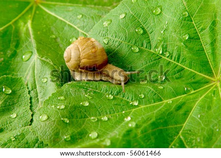 After rain. Snail and water drops on green leaves - stock photo