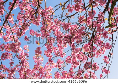 Against blue sky: Japanese flowering cherry tree blooming in April.  Prunus serrulata also called Hill Cherry, Oriental or East Asian Cherry native to Japan, Korea, China - stock photo