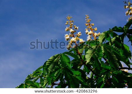 Against the background of the blue sky chestnut flowers in bright sunlight - stock photo