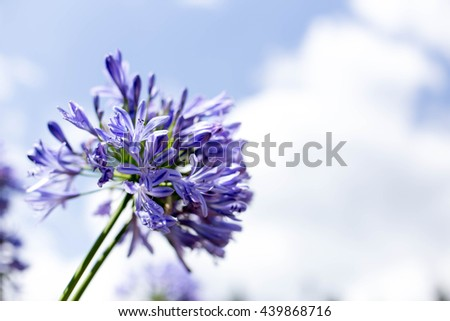 Agapanthus Flowers against a blue sky in the garden - stock photo