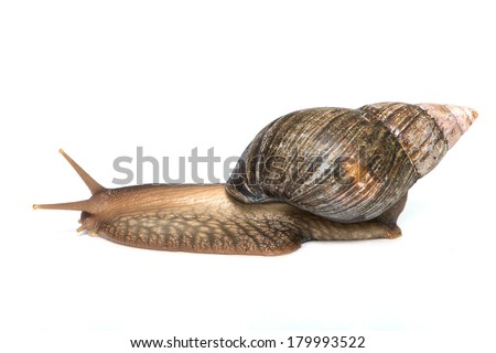 Agate snail isolated on white background