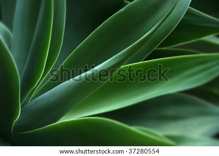 agave, acientific name macroacantha, family Agavaceae - stock photo
