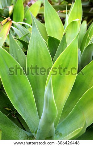 Agave green leaves close-up, natural background - stock photo
