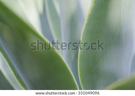 Agave plant close up   - stock photo