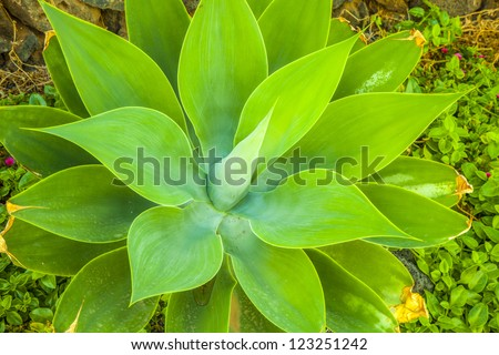 Agave plant in natural sunlight - stock photo