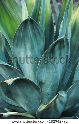 Agave plant photographed over a black background with dew on the leaves.