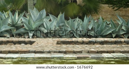 Agave plants at a botanical garden in Mexico - stock photo
