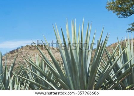 Agave tequila landscape to Guadalajara, Jalisco, Mexico. - stock photo