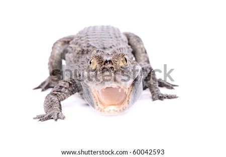 aggressive alligator isolated on the white background - stock photo