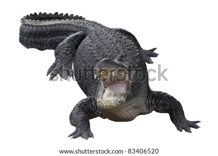 Aggressive alligator with mouth wide open - stock photo