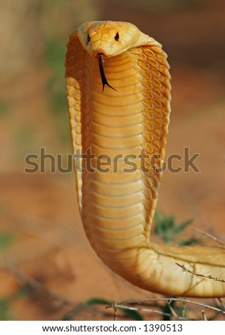 Aggressive Cape cobra (Naja nivea) with flattened hood, Kalahari, South Africa - stock photo