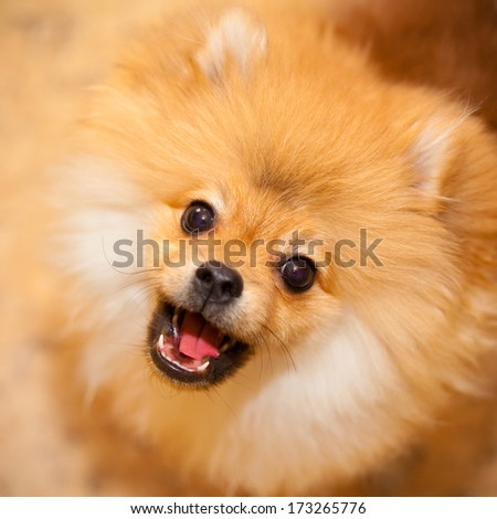Aggressive dog spitz.Barks and looks at the camera. photographing indoors. - stock photo