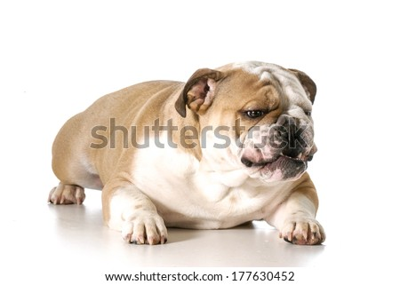 aggressive looking dog - english bulldog with teeth showing and growl isolated on white background