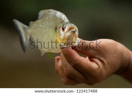 AGGRESSIVE PIRANHA FISH WITH HIS MOUTH OPEN