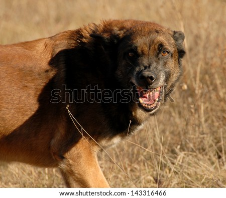 aggressive purebred belgian shepherd malinois in a field - stock photo