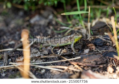 Agile lizard in its natural habitat, on the ground, between withered leaves, in a warm sunny day - stock photo